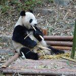 中国成都へパンダ見学と本場四川麻婆豆腐を食す旅2018その2